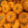 ハロウィン かぼちゃ 種類